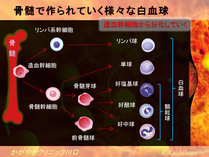 血液中の白血球とリンパ球